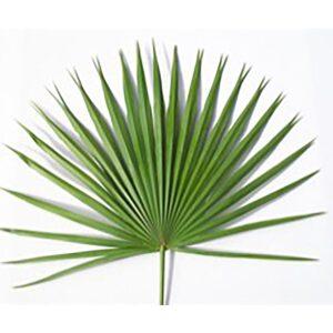 Altar Fan Palm